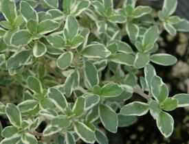 【当店農場生産】シルバータイム 9センチポット苗 斑が綺麗で繁殖力旺盛なハーブ