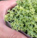 【当店農場生産】ハイランドクリームタイム 9センチポット苗 小さな葉が詰まってとてもかわいいハーブ
