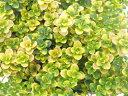 【当店農場生産】ドーンバレータイム9センチポット苗 斑が綺麗で繁殖力旺盛なハーブ