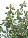 【当店農場生産】フォックスリータイム9センチポット苗 斑が綺麗で繁殖力旺盛なハーブ