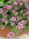 【当店農場生産】赤花クリーピングタイム 9センチポット苗 繁殖力旺盛なクリーピングタイム