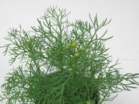 【当店農場生産】ジャーマンカモミール 9センチポット苗 種が落ちて毎年咲く♪