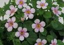 【当店農場生産】バコパコピア グレートピンクリング 9センチポット苗 宿根草垂れるように咲く♪