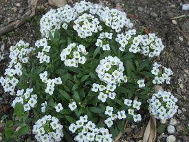 【100円均一】アリッサム 白 9センチポット苗 かわいい花がたくさん咲きます♪
