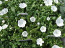 【当店農場生産】ネモフィラ スノーストーム 9センチポット苗 寒さに強い!可愛いお花です♪