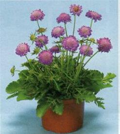 【100円均一】スカビオサ ブルーノート 9センチポット苗 大輪のブルーのお花が咲きます♪