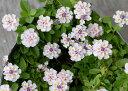 【当店農場生産】ヒメイワダレソウ白 9センチポット苗 耐寒性宿根草でかなり強い!グランドカバーに!