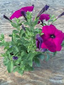 【当店農場生産】ランブリングペチュニア 毎年咲く強いペチュニア!耐寒性宿根草♪