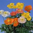 【当店農場生産】ポピー9センチポット苗薄い花びらの美しい花が咲きます☆