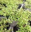 【当店農場生産】クリーピングレモンタイム9センチポット苗繁殖力旺盛なクリーピングタイム