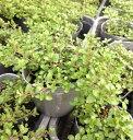 【当店農場生産】クリーピングレモンタイム 9センチポット苗 繁殖力旺盛なクリーピングタイム