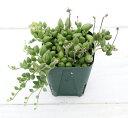 【当店農場生産】多肉植物 ピーチネックレス 7.5センチポット苗 耐寒性