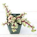 【当店農場生産】セダム 雅楽の舞 7.5センチポット苗 寄せ植えなどに最適♪少しピンク色の葉がかわいい♪