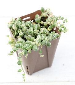 【当店農場生産】多肉植物 斑入グリーンネックレス 7.5センチポット苗