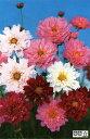 【当店農場生産】コスモス ダブルクリック ミックス(苗)9センチポット苗 鉢植えの栽培にも最適♪