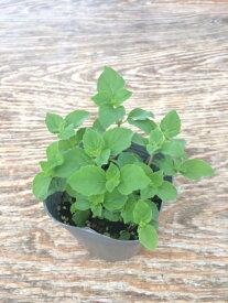 【当店農場生産】レモンミント 9センチポット苗 繁殖力旺盛なハーブ
