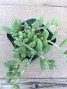 【当店農場生産】多肉植物 アーモンドネックレス 7.5センチポット苗