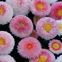 【当店農場生産】デージー・タッソー ストロベリー&クリーム 9センチポット苗 イチゴクリームのような可愛い花を…
