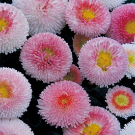 【当店農場生産】デージー・タッソー ストロベリー&クリーム 9センチポット苗 イチゴクリームのような可愛い花を株一面に咲かせます♪