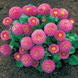 【当店農場生産】デージー・タッソーピンク9センチポット苗中輪ポンポン咲きのピンク色の花が咲きます♪