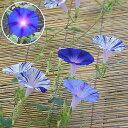 江戸風情5個・江戸風情単色青紫5個セット(朝顔)