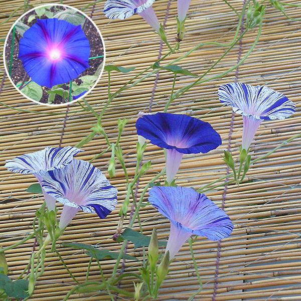 江戸風情10個・江戸風情単色青紫5個セット(朝顔)