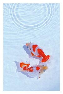 ● 涼やかな金魚「 アラカルト・ポストカードのみ」 絵はがき・ポストカード 【メール便OK】