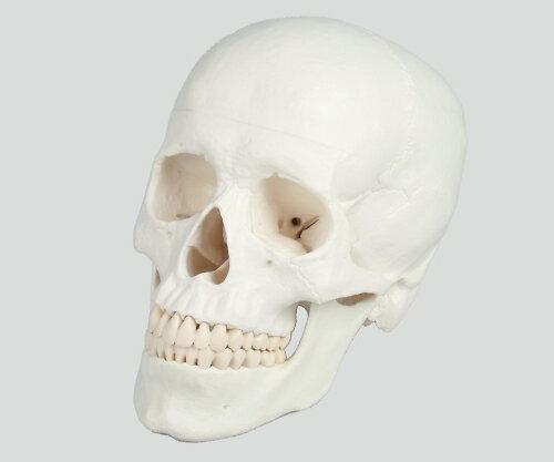【送料無料】ナビス 頭蓋3分解モデル 180×190×120 8-8312-01