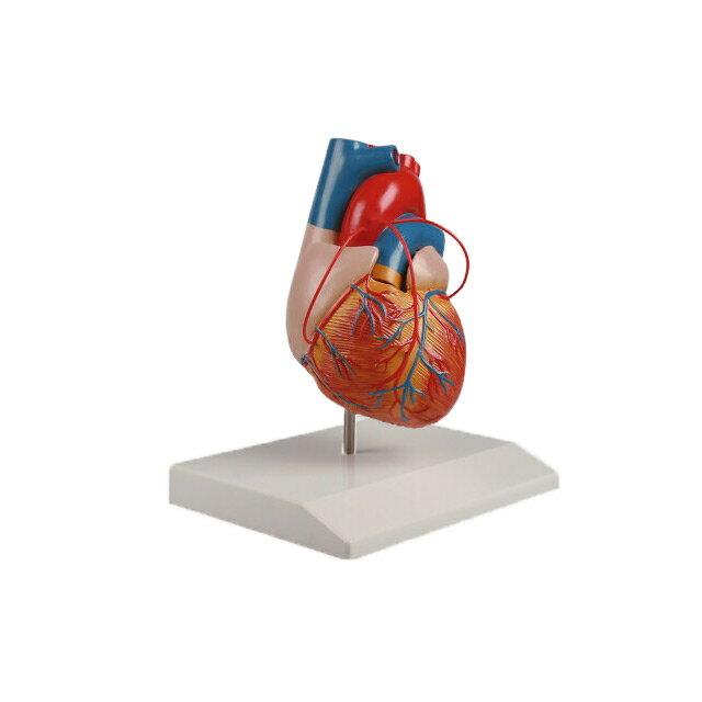 【送料無料】ナビス バイパス付心臓2分解モデル 80×80×140 8-8316-01