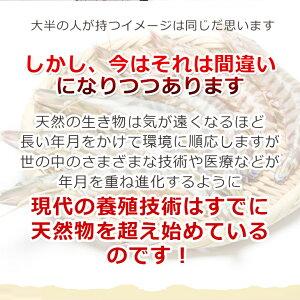 活き車えび1kgお取り寄せグルメ車海老を水揚げ後すぐに発送!熊本県天草産「活き車えび」をいきたまま!鍋やボイル、フライなど九州熊本産車海老(車えび・車エビ)