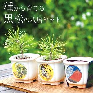 黒松 種子 栽培セット 栽培キット かわいい 盆栽 ガーデニング 観葉植物 父の日 母の日 敬老の日 誕生日 ギフト プレゼント