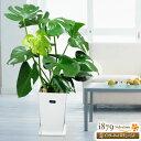 花キューピット【産直 観葉植物(通年)】sk09-710334モンステラ(白鉢)