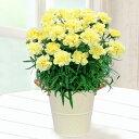 花キューピット【母の日産直ギフト】mt04-711037幸せの黄色カーネーション鉢