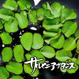 サルビニアナタンス 5株 水草 浮き草 メダカ用 ビオトープ 販売