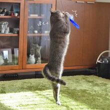 【猫】【おもちゃ】びよーんと伸びてキャッチするもハズれ