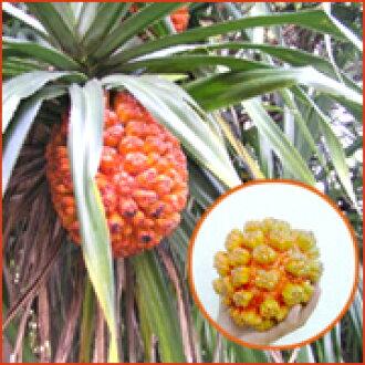 阿丹的实际上的自然界的okayadokari很喜欢成熟的阿丹的果实! 10P03Dec16自由研究白色情人节
