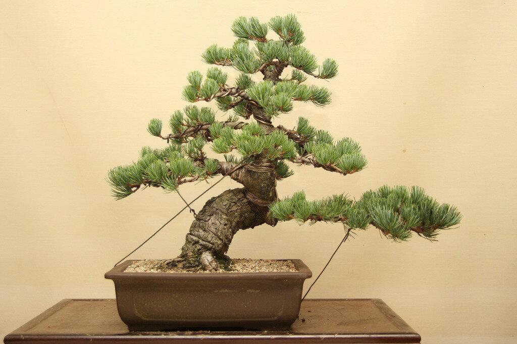 一樹園 宮島五葉松 中品盆栽 樹齢25年