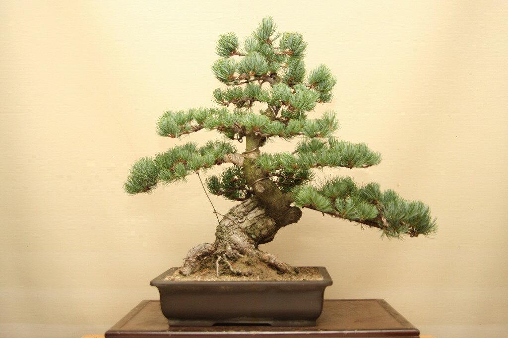 (株)一樹園  宮島五葉松  中品盆栽/樹齢35年