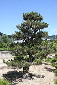 (株)一樹園     寿松      樹齢50年          植木 庭木 庭園樹 苗木 黒松 五葉松
