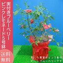 実付き ブルーベリー 鉢植え 母の日 プレゼント ピンクレモネード 5号鉢 送料無料 鉢花 母の日ギフトフラワー 花 ギフト 珍しい 新品種