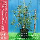 実付き ブルーベリー 鉢植え 母の日 プレゼント ピンクレモネード 10号鉢 送料無料 特大 大株 鉢花 母の日ギフトフラ…