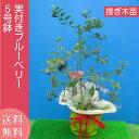 実付き ブルーベリー 鉢植え 母の日 プレゼント 接ぎ木 5号鉢 送料無料 鉢花 母の日ギフトフラワー 花 ギフト ハイブッシュ