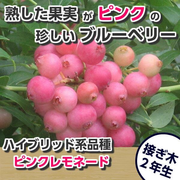 ピンクレモネード ブルーベリー接ぎ木苗 ハイブリッド品種 ブルーベリー苗木 ブルーベリー 苗木 接ぎ木 接木