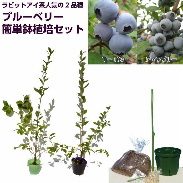 ブルーベリー 苗木 ラビットアイ系人気品種2品種 簡単鉢植え栽培6点セット ティフブルー T-100