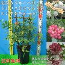 実付き ブルーベリー ピンクレモネード 接ぎ木 6号鉢 トレリス仕立て 鉢植え 母の日 プレゼント 送料無料 鉢花 母の日…