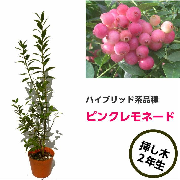 ピンクレモネード ブルーベリー挿し木苗 ハイブリッド品種 ブルーベリー苗木 ブルーベリー 苗木 挿し木