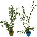ブルーベリー ラビットアイ系品種 2品種 2本 挿し木苗 父の日 プレゼント 送料無料 鉢植え 鉢花 父の日ギフトフラワー…