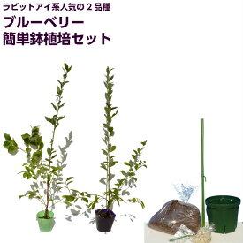 ブルーベリー 苗木 ラビットアイ系人気品種 【ブライトウェル】 ・【ホームベル】+2品種簡単鉢植え栽培6点セット