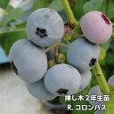 R.コロンバス ブルーベリー 挿し木 苗木 2年生 10本セット ラビットアイ系品種 果樹苗