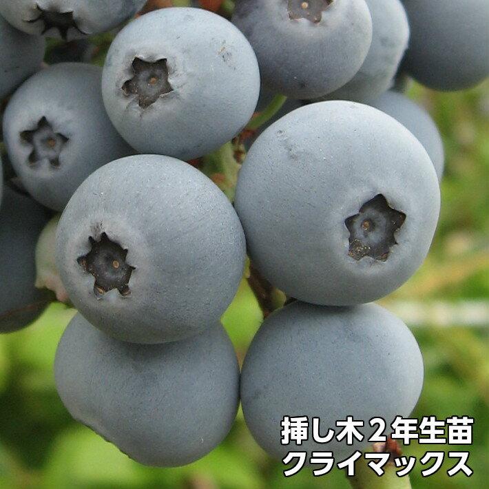 クライマックス ブルーベリー 挿し木 苗木 2年生 10本セット ラビットアイ系品種 果樹苗